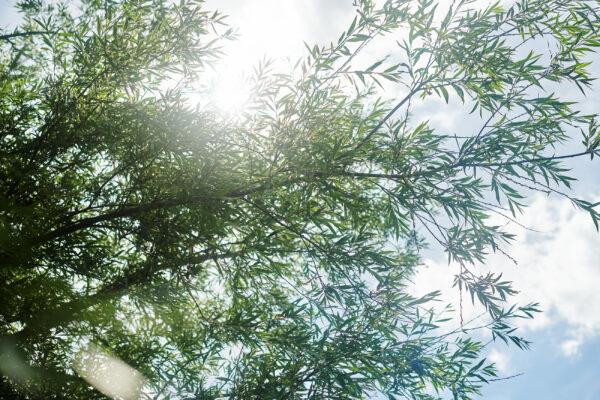 Pileträd mot ständigt blå himmel
