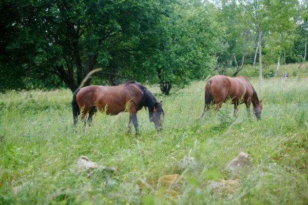 Klappvänliga hästar